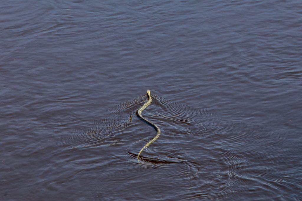 Auf dem Bild befindet sich eine Ringelnatter im Wasser.
